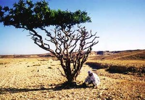 Frankincense Tree and the benefits of the essential oil